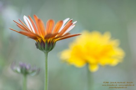 Florales - Ringelblumen