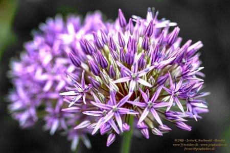 Florales - Allium