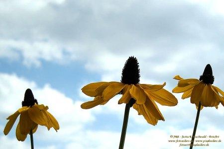 Florales - Rudbeccia