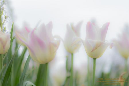 Florales - Tulpen