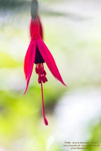 Florales - Fuchsie