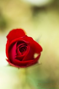 Florales - Rosen