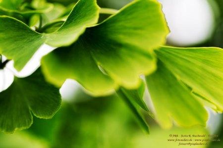 Ginko-Blätter