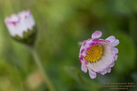 Wiesenflora